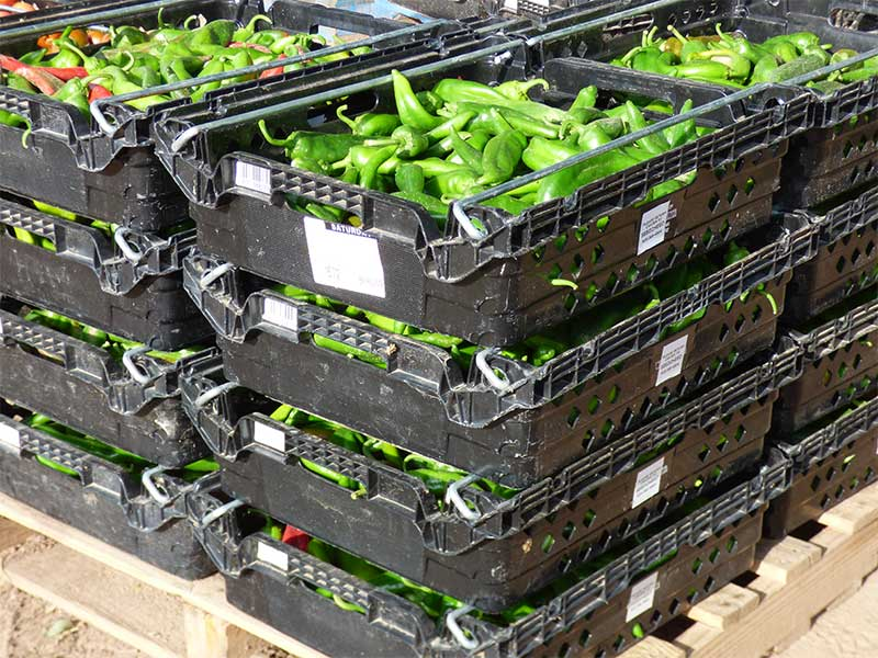Crates of green chile